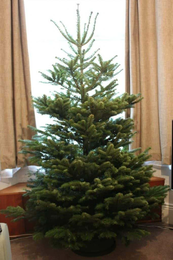 Pines and Needles real christmas tree