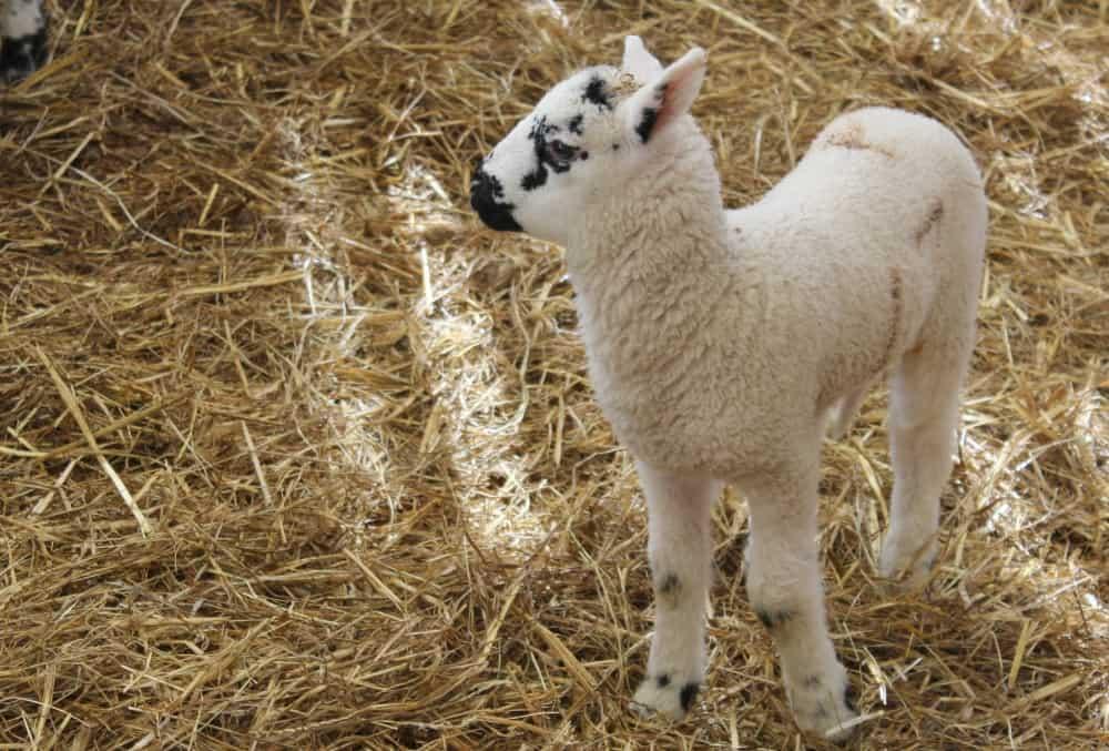 National Forest Adventure Farm Lamb