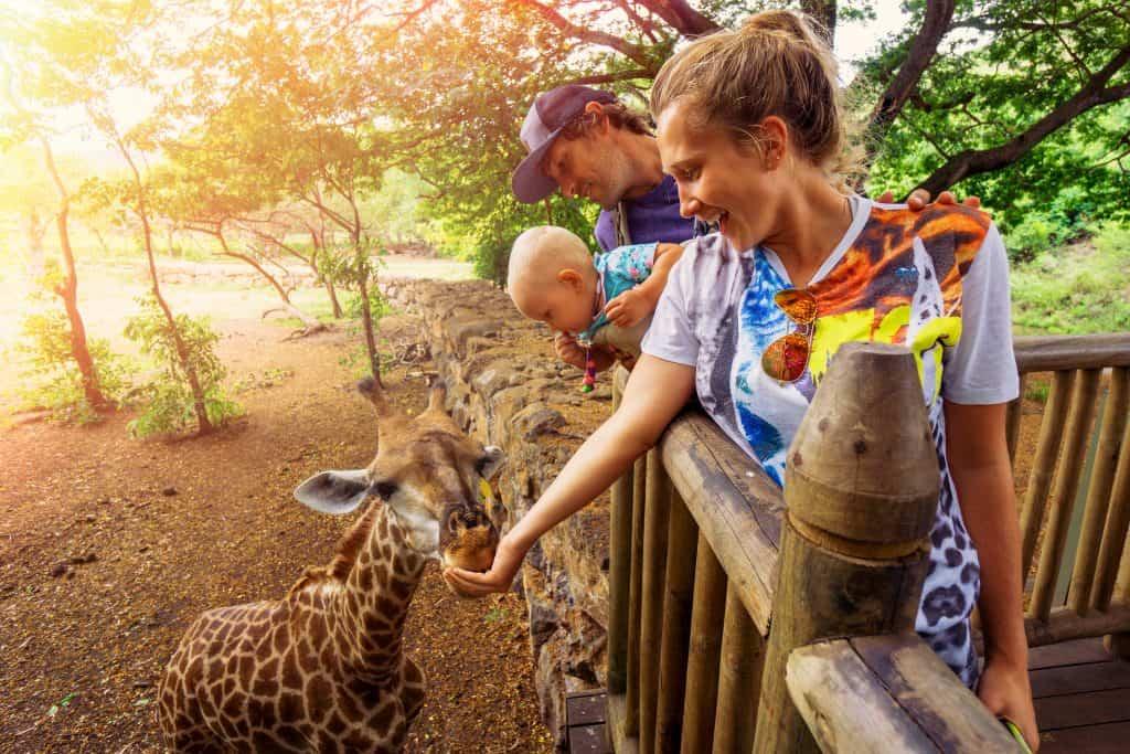 feeding-giraffes-at-casela-safari-park-mauritius