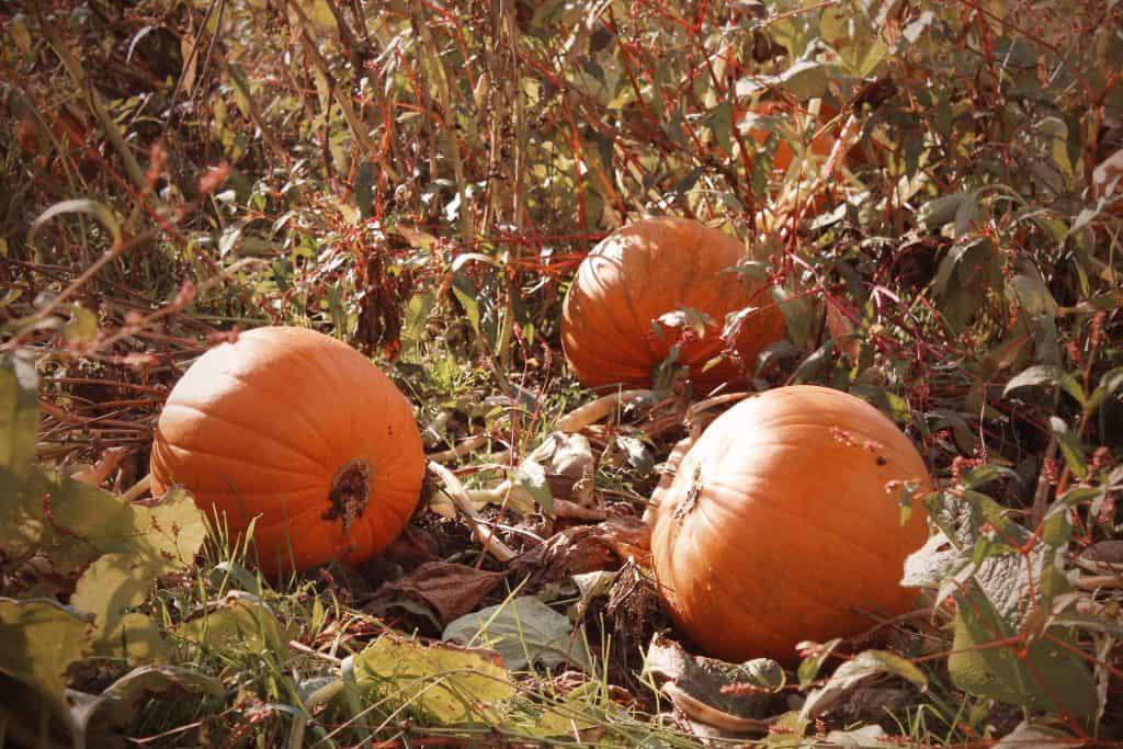 Pumpkins at Essington Farm
