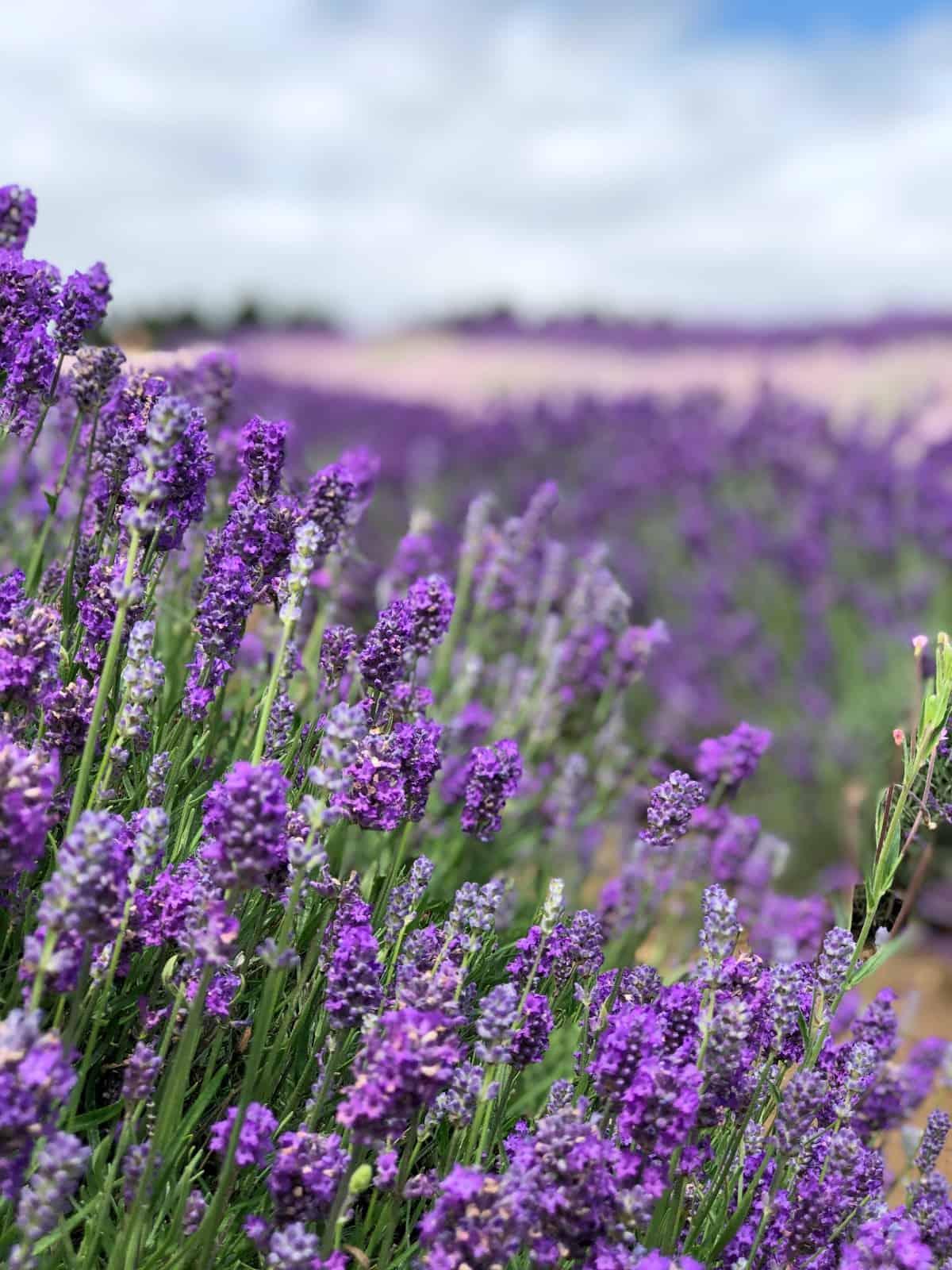Cotswold Lavender